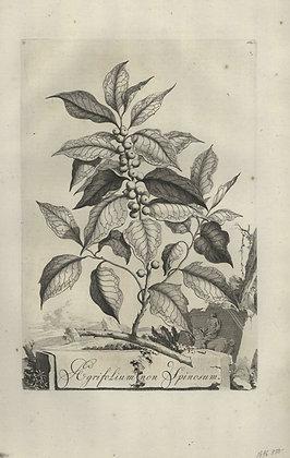 Plate 039: Agrifolium non spinosum