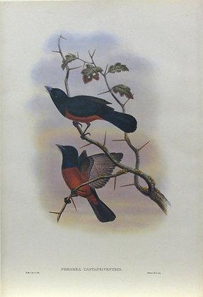 Plate 257: Pomarea Castaneiventris