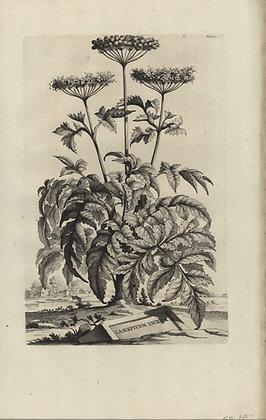 Plate 100: Laserpitium lucidum