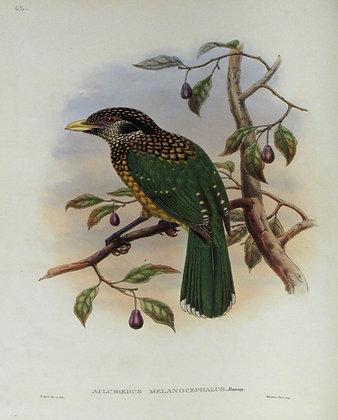 Plate 142: Ailuroedus Melanocephalus