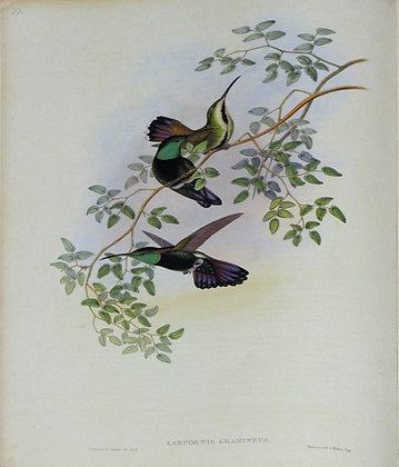 Plate 077: Lampornis Gramineus