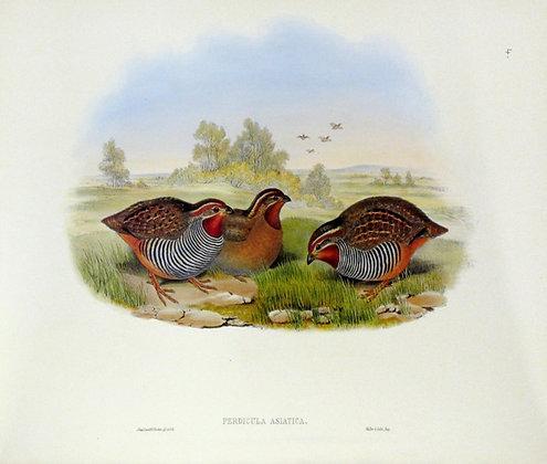Plate 704: Perdicula Asiatica