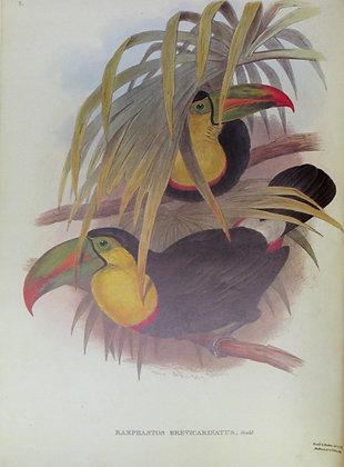 Plate 003: Ramphastos Brevicarinatus