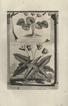 Plate 147: Cyclamen rotundifolium hyemale,