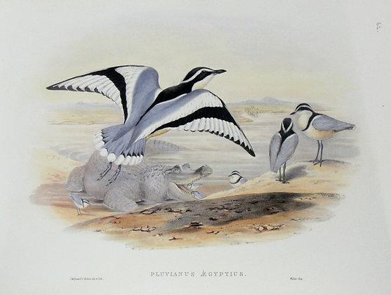 Plate 762: Pluvianus Aegyptius