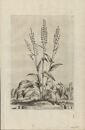 Plate 073: Acetosa vulgaris sive Rumex Canpferinus