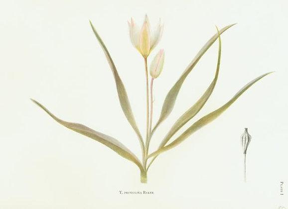 Plate 01: T. Sylvestris Linn