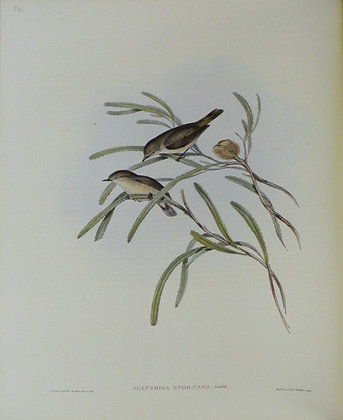 Plate 359: Acanthiza Inornata
