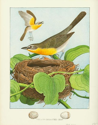 Plate 46: Yellow-breasted Chat