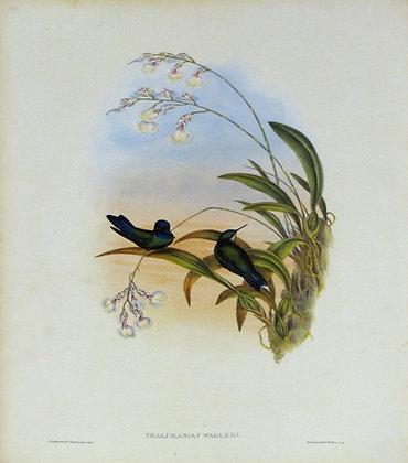 Plate 109: Thalurania Wagleri