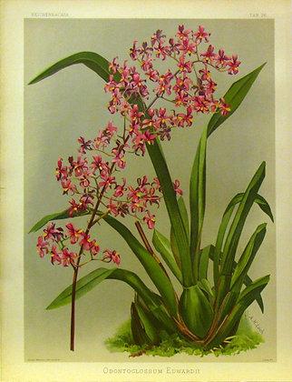 Plate 026: Odontoglossum edwardii