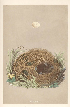 Plate 127: Willow Warbler