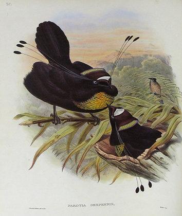Plate 125: Parotia Sexpennis