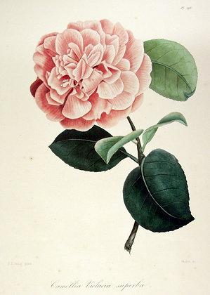 Camellia Violacia superba