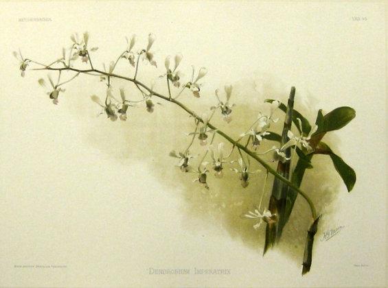 Plate 195: Dendrobium Imperatrix