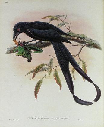 Plate 151: Dicranostreptus Megarhynchus
