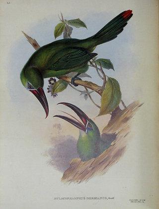 Plate 043: Aulacoramphus Derbianus
