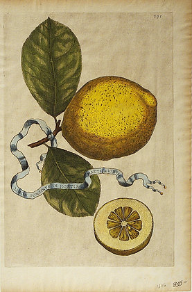 Plate 295: Limon Ponzinus In Hortis Matth?iorum