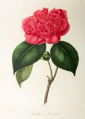Camellia Peruchini