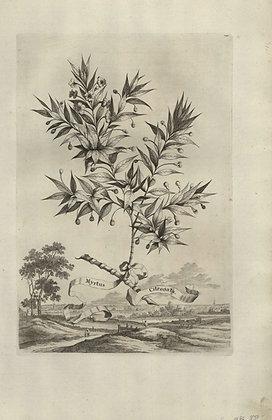 Plate 033: Myrtus citronata