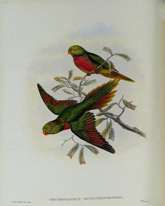 Plate 542: Trichoglossus Musschenbroekii