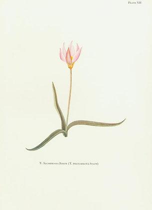 Plate 12: T. Sylvestris Linn