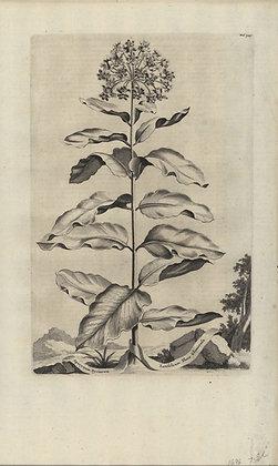 Plate 104: Apocynum Syriacum latifolium flore glom