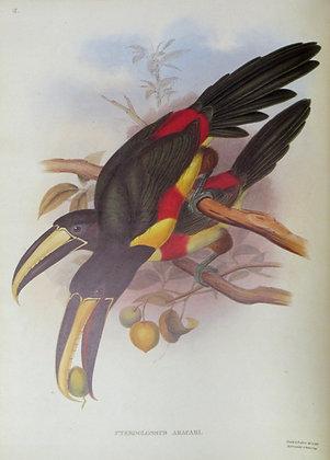 Plate 15: Pteroglossus Aracari