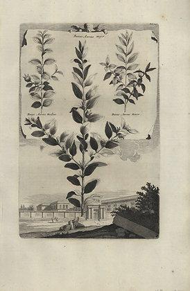 Plate 035: Buxus aureus major, medius, and minor