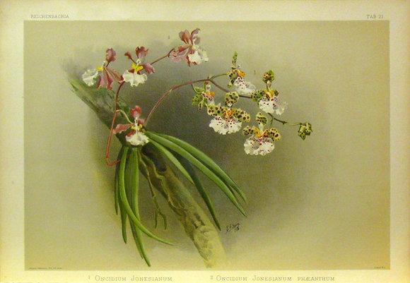 Plate 021: Oncidium jonesianum