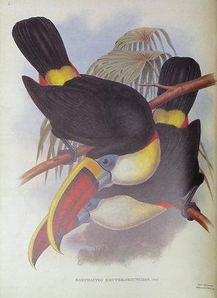 Plate 006: Ramphastos Erythrorhynchus