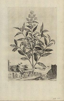 Plate 066: Ligustrum variegatum