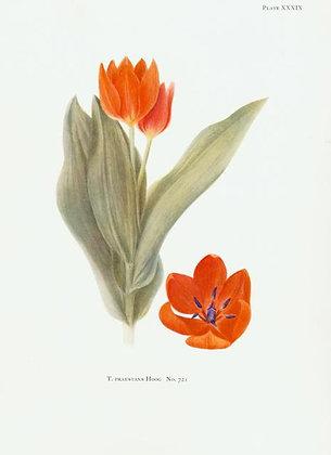 Plate 39: T. Sylvestris Linn