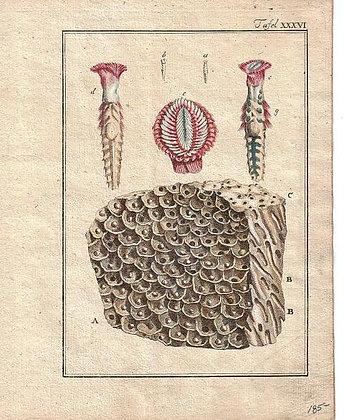 Plate 36: English tubular sandy Coral