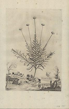 Plate 068: Abrotonum foemina Montanum Lusitanicum