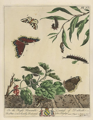 Plate 012 Camberwell Beauty, Large Magpie Moth