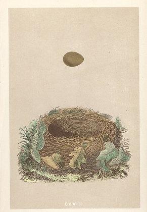 Plate 118: Nightingale