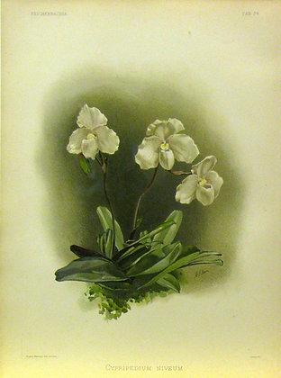 Plate 034: Cypripedium niveum