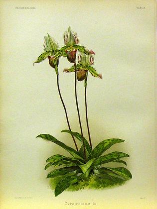 Plate 023: Cypripedium lo