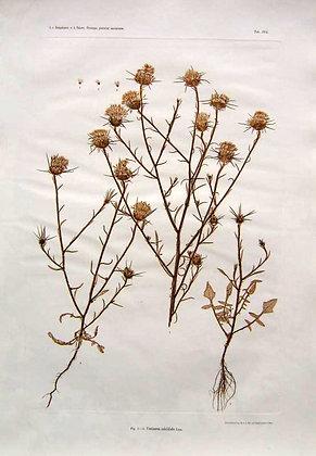 Plate 265: Crisium Lanceolatum
