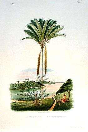 Plate 266: A. Bactris Constanciae