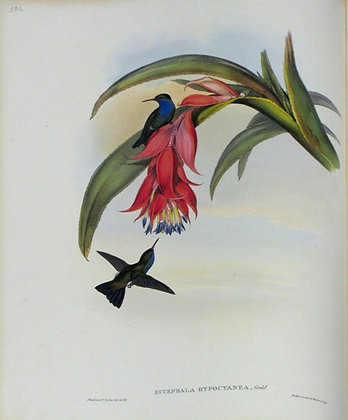 Plate 334: Eucephala Hypocyanea