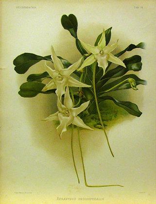Plate 014: Aeranthus sesquipedalis
