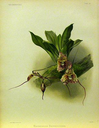 Plate 019: Masdevallia backhousiana
