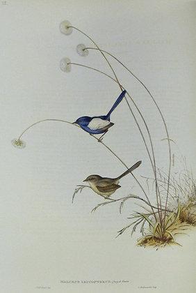 Plate 325: Malurus Leucopterus
