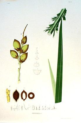 Plate 184: Cocos Oleracea
