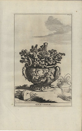 Plate 131: Sedum crispum