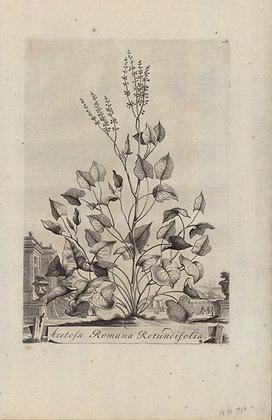 Plate 074: Acetosa Romana rotundifolia