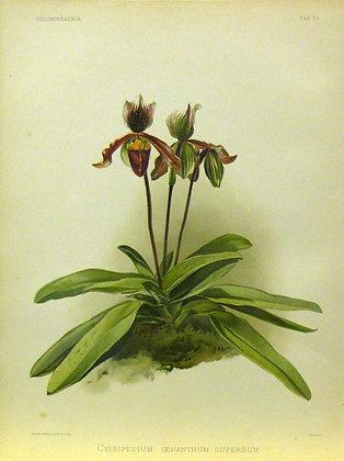 Plate 038: Cypripedium oenanthum superbum