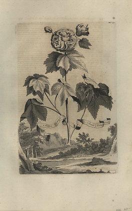 Plate 047: Malva Chinensis rosea